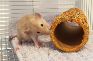 O tym czego o rodzicielstwie nauczyły mnie dwa szczury.